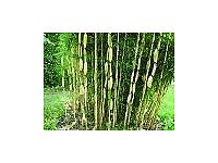 Bamboo Plant Fargesia robusta 'Campbell' 10 litre
