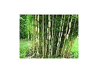 Bamboo Plant Fargesia robusta 'Campbell' 5 litre