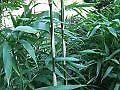 Bamboo Plant Semiarundinaria fastuosa 10 litre