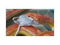Female Corn snake and or full setup