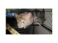 3 male chinchillas