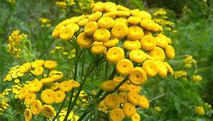 400-Graines-non-traitees-de-TANAISIE-Tanacetum-vulgare-Insecticide-au-jardin