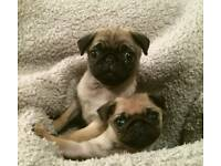Little girl Pug puppy for sale
