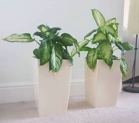 Pair of indoor or outdoor plants in self watering pot - off white colour