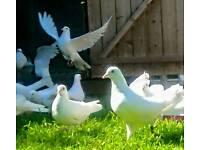 Doves white garden