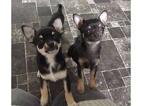 13 week pedigree Chihuahua pups