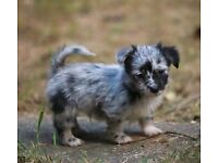 Stunning rare merle Cockapoo x Chihuahua puppies