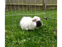 9 week old male guinea pigs