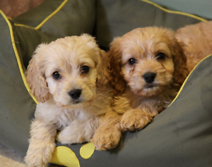 Teddy Beautiful First Gen Toy Cavoodle Puppies available now North Sydney North Sydney Area Preview