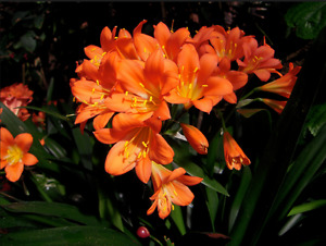 Clivia plant is on sale