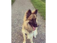 German shepard for sale