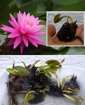 Rosa Miniseerose Aquariumdeko besondere Deko Zubehör für das Terrarium Aquarium