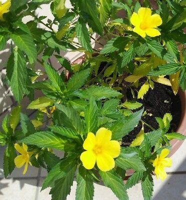 120 fresh seeds DAMIANA semi freschi TURNERA DIFFUSA , afrodisiaco, libido segunda mano  Embacar hacia Spain