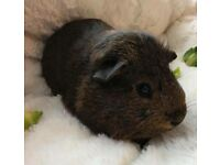 Baby boy guinea pig for sale