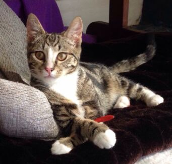 Rescued Kitten-Hunter Valley Cat Haven Maitland Maitland Area Preview