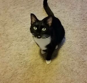 Lost Black and White Cat from Heathcote Area Heathcote Sutherland Area Preview