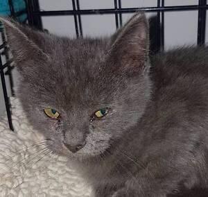 Justice the kitten Truganina Melton Area Preview
