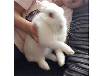 White male rabbit
