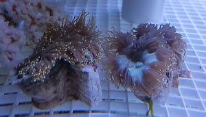 Medium Gold Tipped Elegance Coral Kelmscott Armadale Area Preview