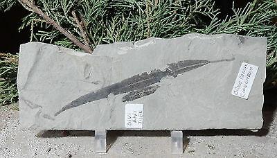 Fossil Leaf-Divi Divi Tree