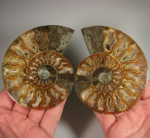 """4.4"""" AMMONITE Fossil Split Polished Pair w/ Calcite Chambers - Madagascar"""