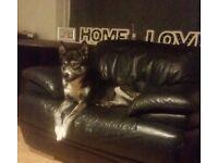 Husky/Alaskan Malmute 10 months.