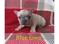 Blue Fawn French Bulldog pup