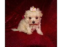 Micro Tiny KC Registered Maltese Girl Puppy For Sale