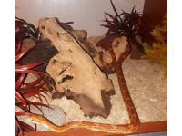 Corn Snake 2 yrs old with vivarium and extras