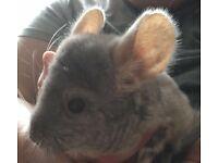 1 year old male chinchilla