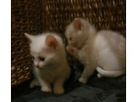 gorgeous russian white kittens
