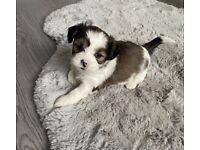 Female Lhasa Apso puppy