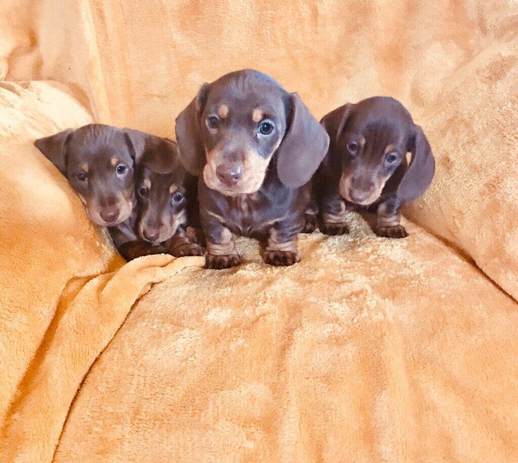 Choc Chocolate And Tan Miniature Dachshund Puppies In Stewarton East Ayrshire Gumtree
