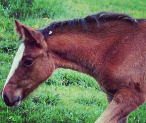 FOR SALE: Clyde Warmblood Filly