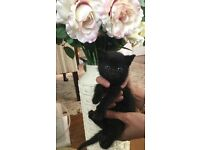 GORGEOUS Black Female Kitten for sale in North London