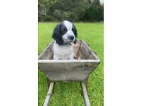 Outstanding English Springer Spaniels