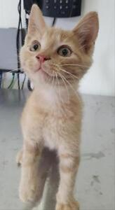"Baby Male Cat - Domestic Short Hair: ""Pip"""