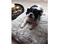 French bulldog puppies 1 boy& 1 girl
