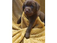 Beautiful female chocolate lab puppy