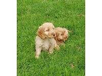 f1 cockapoo puppies ready now fully vaccinated