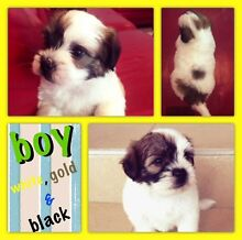 Shih tzu x Maltese x mini foxy puppies for sale Murrumba Downs Pine Rivers Area Preview