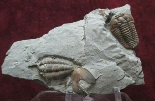2 Outstretched Flexicalymene retrorsa Ordovician Fossil Trilobites Mt. Orab Ohio