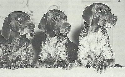 * German Shorthaired Pointer Pups - Dog Photo Print 1964