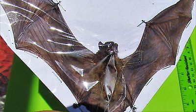 Lesser Bamboo Bat Tylonycteris pachypus Spread FAST FROM USA