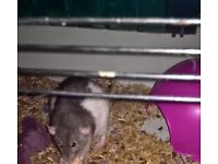 rats for free to good home in grimsby