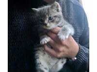 Beautiful grey tabby kittens