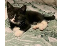 Black & White kitten for sale (girl)