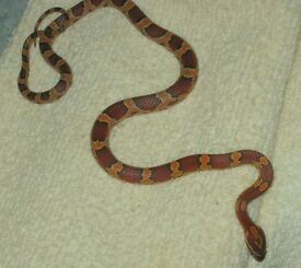 corn snake £25 if go's to day