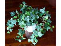 New faux silk ivy plant with glazed white ceramic pot