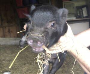 Potbelly piglet